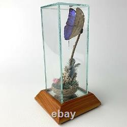 DISPLAY TAXIDERMY BUTTERFLY GLASS & Wood BEAUTIFUL MORPHO MENELAUS BLUE LARGE